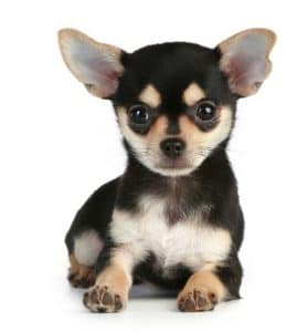 Chiot Chihuahua. Créer son élevage canin