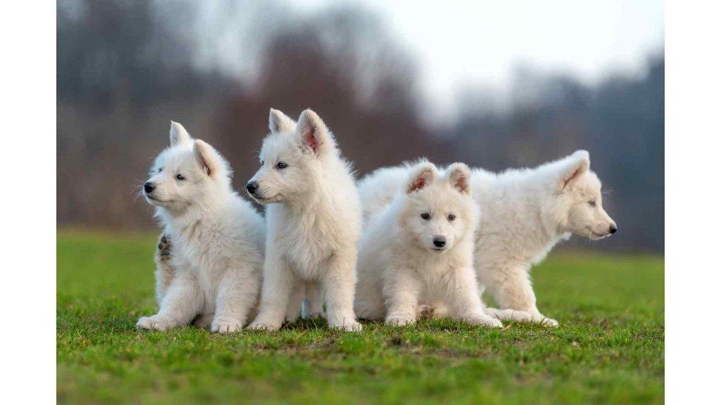 Chiots-bergers-blancs-suisse