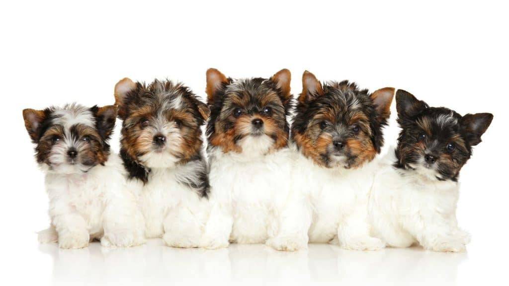 chiots-Yorkshire.