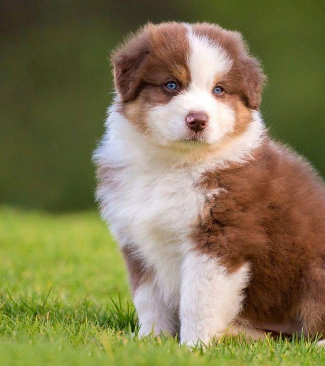 Chiot.Devenir eleveur canin